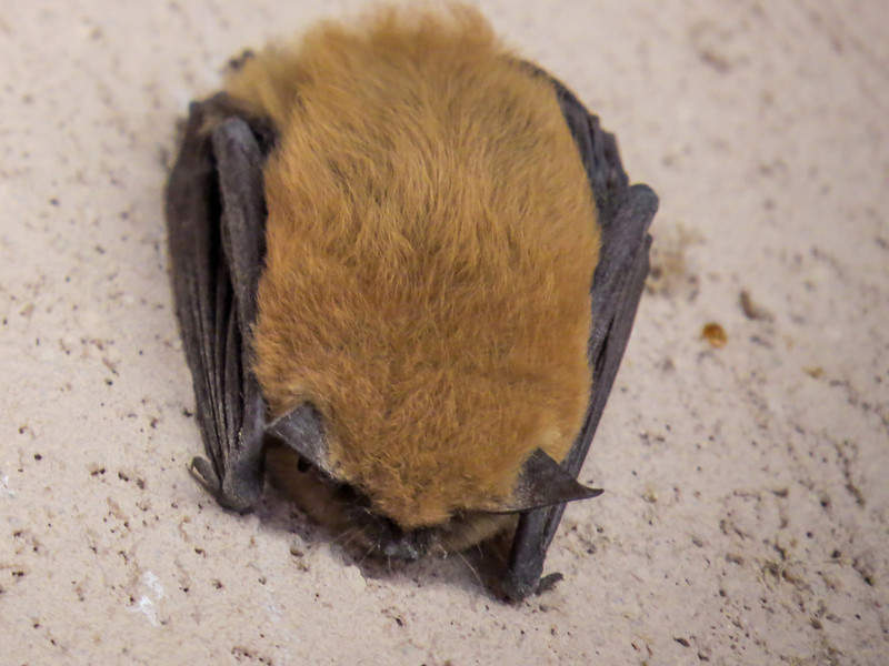 Brown Bat, Bosque del Apache NWR, Socorro NM