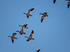 Snow Geese, Bosque del Apache NWR, Socorro NM