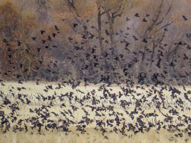 Mostly Red-winged Blackbirds, Bosque del Apache NWR, Socorro NM
