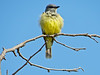 Western Kingbird, San Joaquin Wildlife Sanctuary, Irvine CA