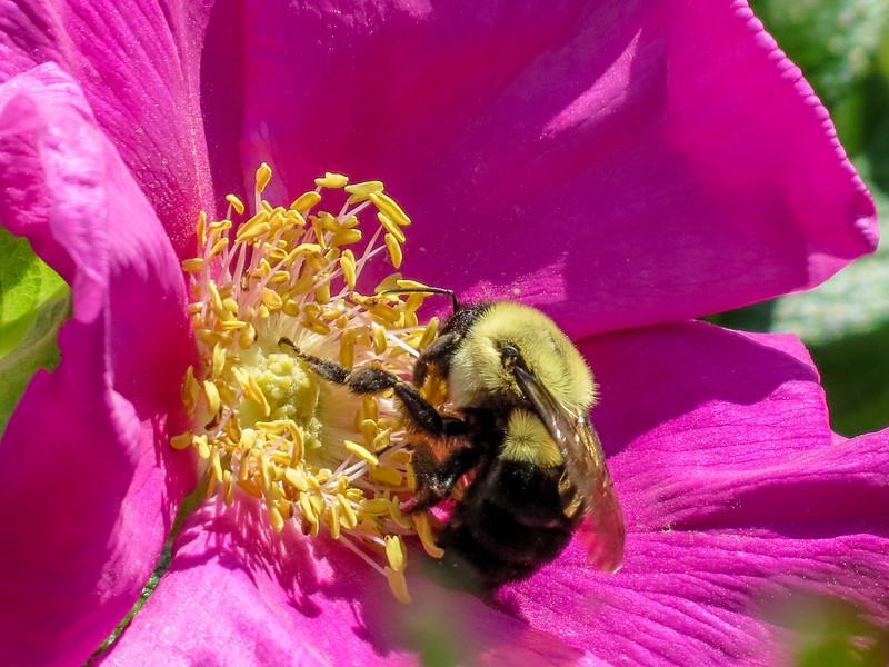 Bumble-bee in Beach Rose, Kennebunk Bridle Path, Kennebunk ME