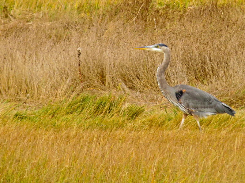 Great Blue Heron, Back Creek and a Beach, Kennebunk ME