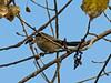 Bushtit, San Joaquin Wildlife Sanctuary, Irvine CA