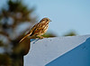 Song Sparrow, A beach, Kennebunk ME