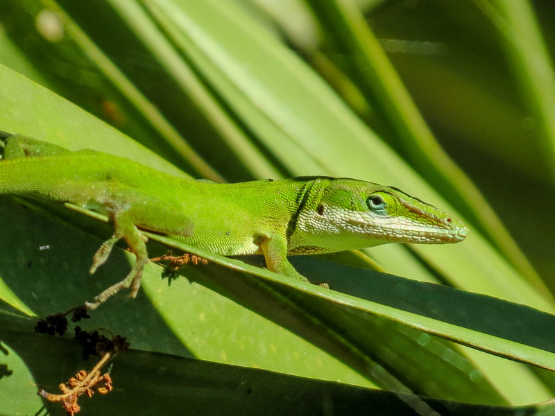 Green Anole, Fort Mantanzas National Monument, FL