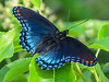 Red-spotted Purple, Cape May Big Day, NJ