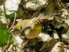 Palm Warbler, Magee Marsh, OH