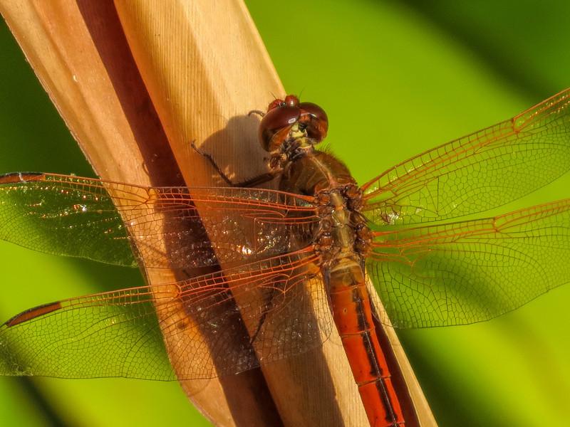 Golden-winged Skimmer, Washington Oaks Garden's State Park, Marineland, FL