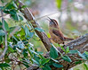 Carolina Wren, Henricitus City Park, Chester VA