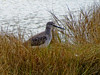 Greater Yellowlegs, Kennebunk Bridle Path, Kenneubunk ME