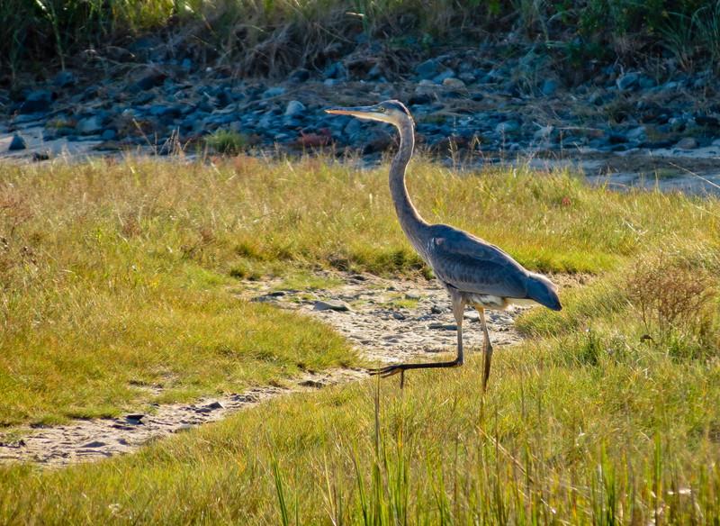 Great Blue Heron, A beach, Kennebunk ME
