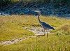 Great Blue Heron, A beach, Kennebunk ME