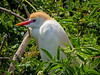 Cattle Egret, St. Augustine Alligator Farm, St. A FL