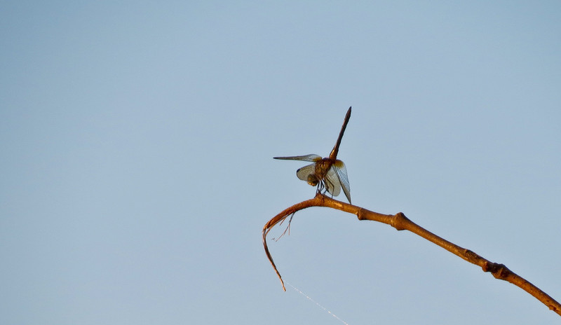 Dragonfly, Henricitus City Park, Chester VA