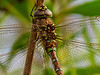 Fm Paddle-tailed Darner, San Joaquin Wildlife Sanctuary, Irvine CA