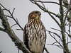 Cooper's Hawk, Cape May Lighthouse SP, Cape May NJ