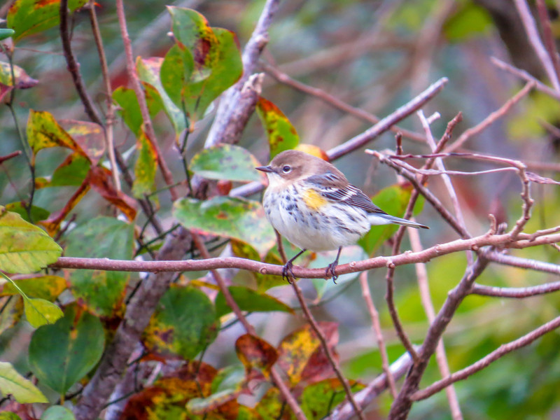 Yellow-rumped Warbler, Cape May Lighthouse SP, Cape May NJ
