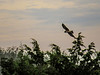 Northern Harrier, The Meadows, Cape May NJ