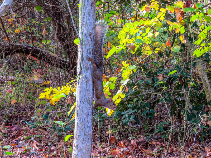 Grey Squirrel, Cape May Lighthouse SP, Cape May NJ