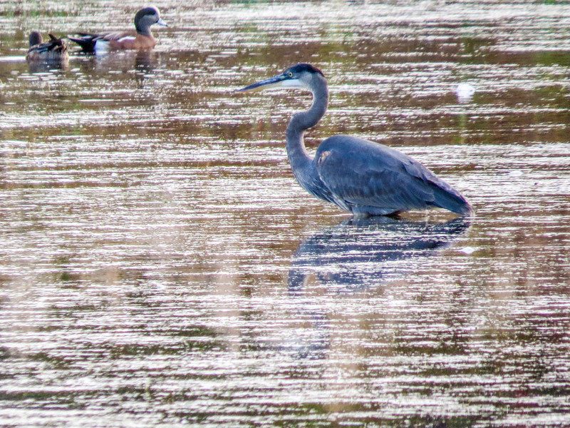 Great Blue Heron, Cape May Lighthouse SP, Cape May NJ