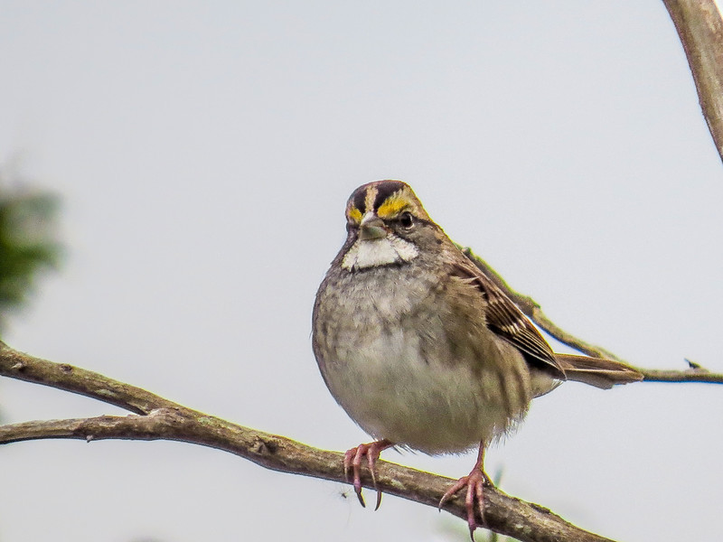 White-throated Sparrow, Cape May Lighthouse SP, Cape May NJ