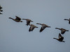 Canada Geese, The Meadows, Cape May NJ