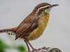 Carolina Wren, Cape May Lighthouse SP, Cape May NJ