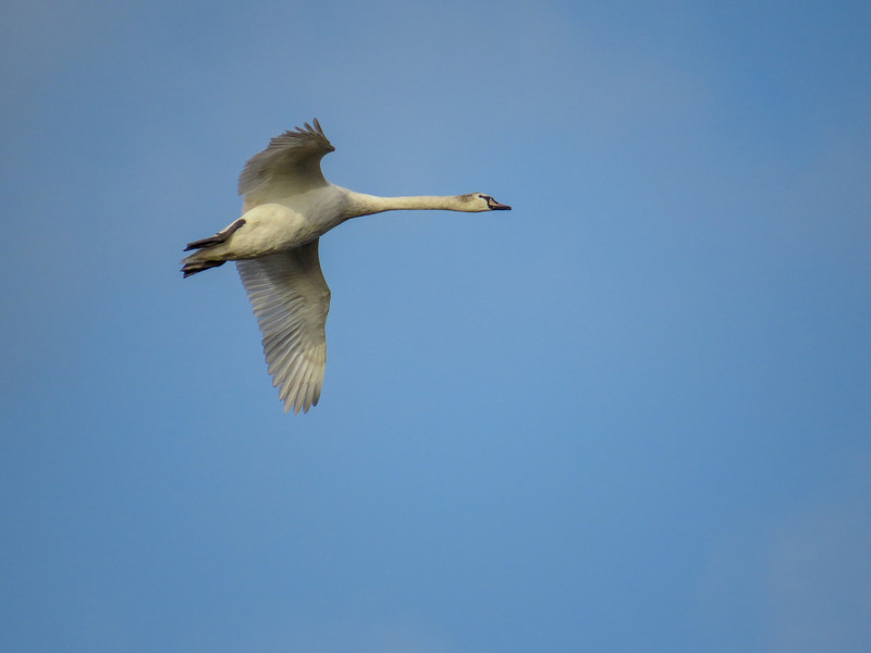 Mute Swan, Cape May Lighthouse SP, Cape May NJ