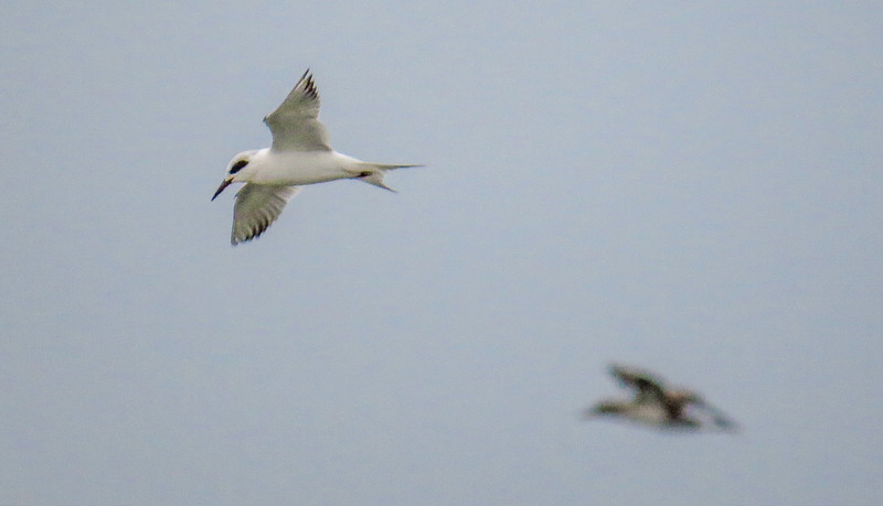 Forester's Tern, The Meadows, Cape May, NJ