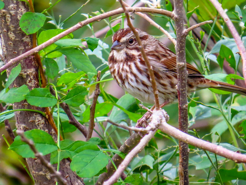 Song Sparrow, Cape May Lighthouse SP, Cape May NJ