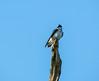 Tree Swallow, Cape May Big Day, NJ