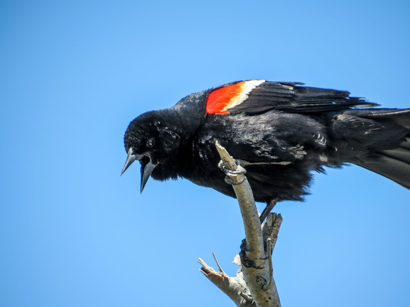 Red-winged Blackbird, Cape May Big Day, NJ