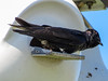 Purple Martin, Cape May Big Day, NJ