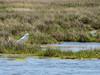 Snowy Egret, Cape May Big Day, NJ