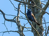 Blue Grosbeak, Cape May Big Day, NJ