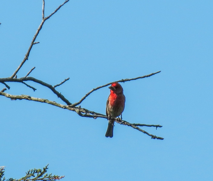 House Finch, Cape May Big Day, NJ