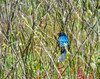 Lazuli Bunting, Cape May Big Day, NJ