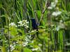 Blue Grosbeak, Cape May Big Day, NJ