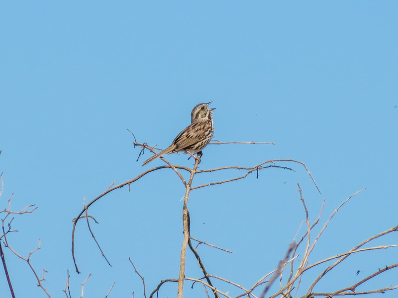 Song Sparrow, Cape May Big Day, NJ