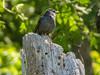 Catbird, Cape May Big Day, NJ