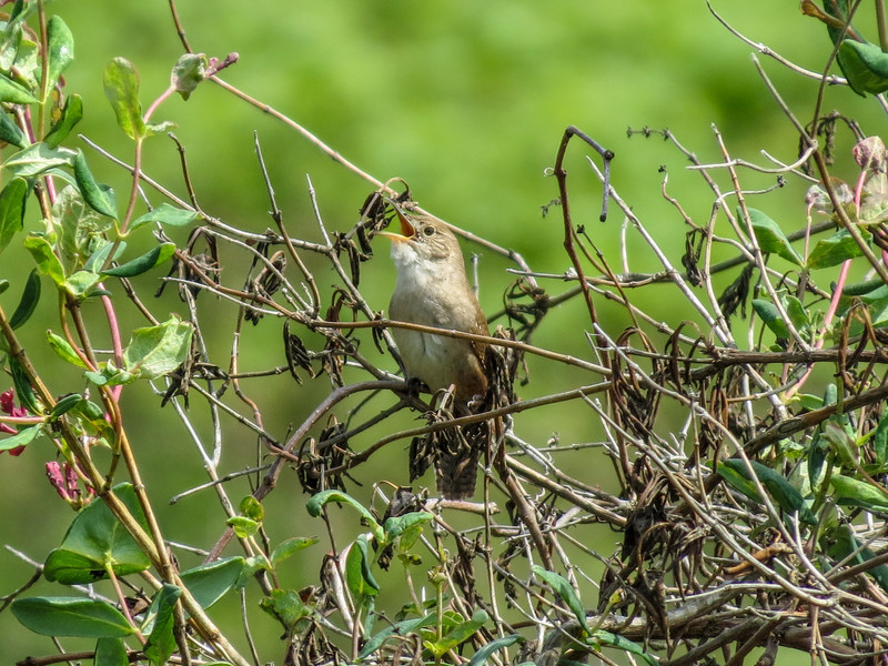 House Wren, Cape May Big Day, NJ
