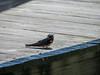 Barn Swallow, Cape May Big Day, NJ