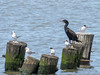 Double-crested Cormorant, Common Terns, Cape May Big Day, NJ