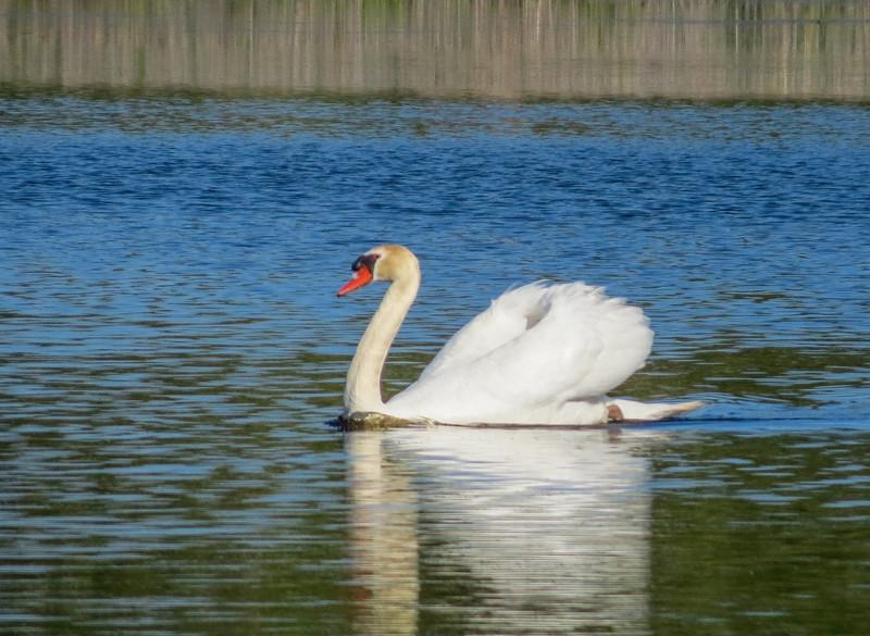 Mute Swan, Cape May Big Day, NJ