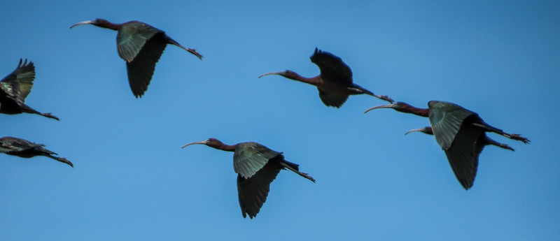Glossy Ibis, Cape May Big Day, NJ
