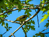 Scarlet Tanager (fm), Cape May Big Day, NJ