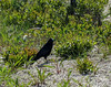 American Crow, Cape May Big Day, NJ