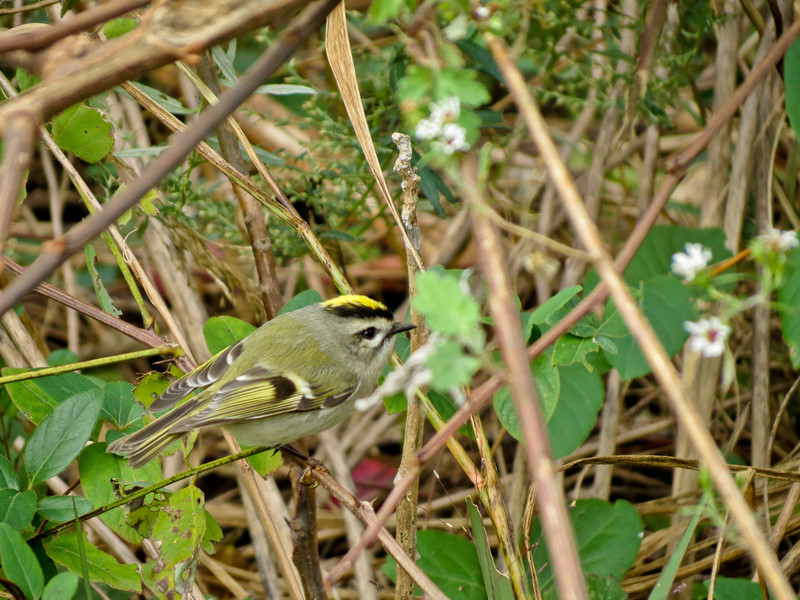 Golden-crowned Kinglet, Cape May NJ