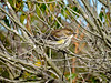 Yellow-rumped Warbler, Cape May NJ