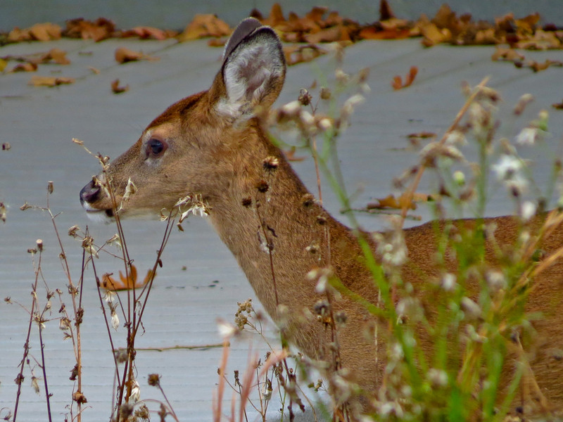 White-tailed Fawn, Cape May, NJ